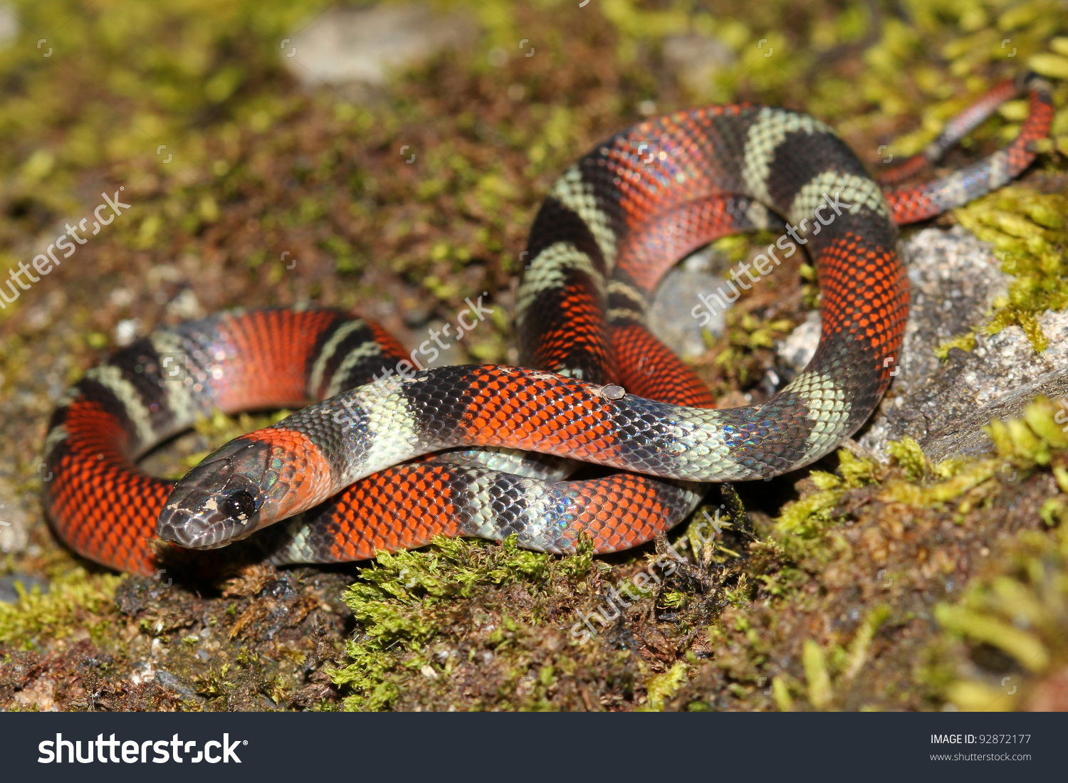 False Coral Snake clipart #5, Download drawings