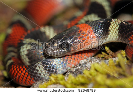 False Coral Snake clipart #4, Download drawings