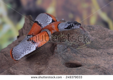 False Coral Snake clipart #9, Download drawings