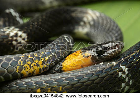 False Coral Snake clipart #17, Download drawings