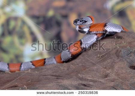 False Coral Snake clipart #7, Download drawings