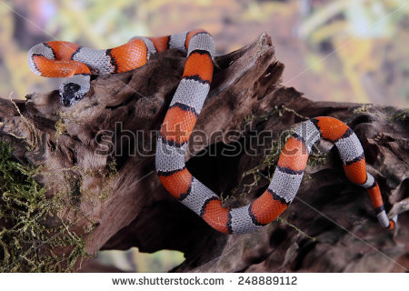 False Coral Snake clipart #8, Download drawings