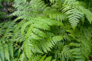 Fern clipart #8, Download drawings