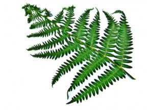 Fern clipart #3, Download drawings