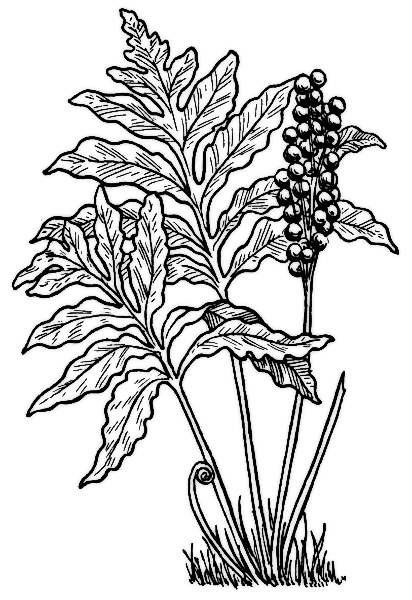Fern coloring #14, Download drawings
