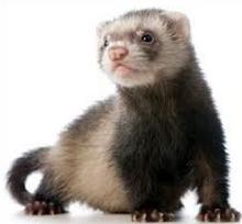 Ferret clipart #15, Download drawings