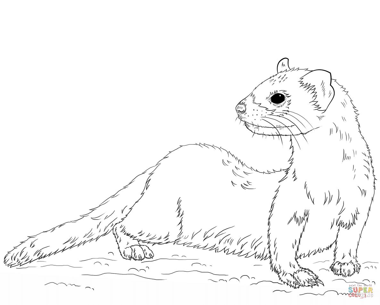 Ferret coloring #16, Download drawings