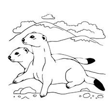 Ferret coloring #9, Download drawings