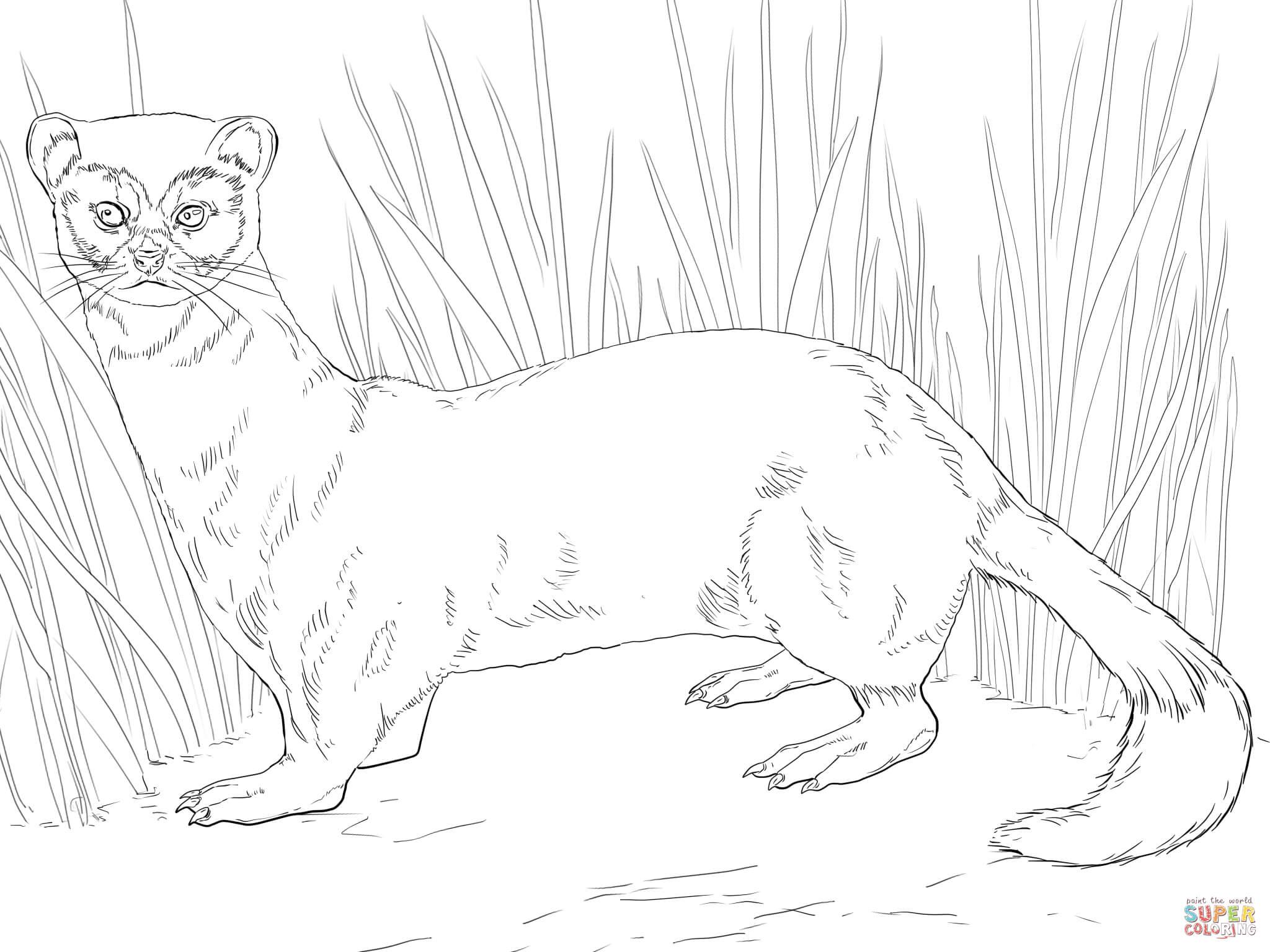 Ferret coloring #5, Download drawings