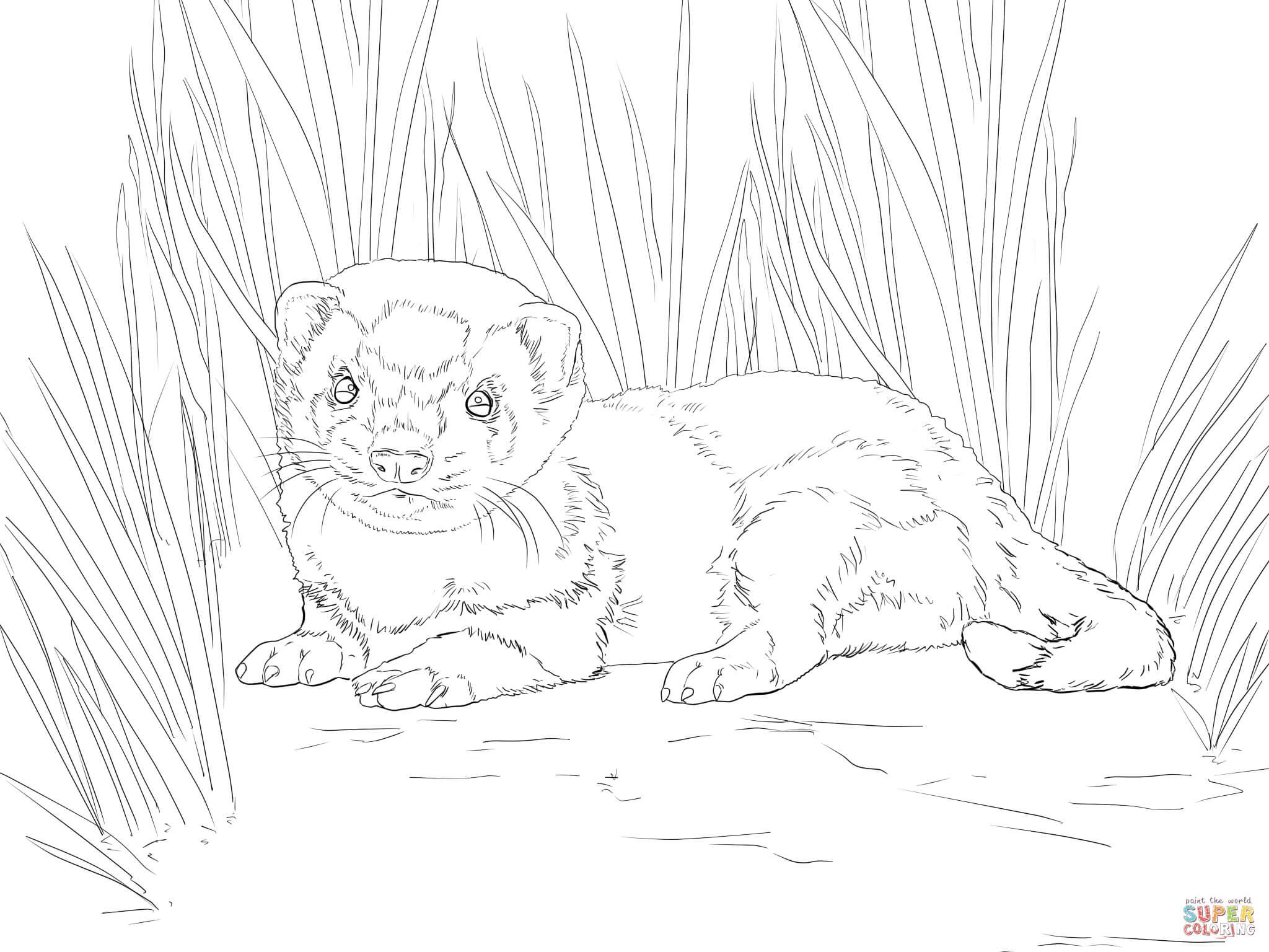 Ferret coloring #1, Download drawings