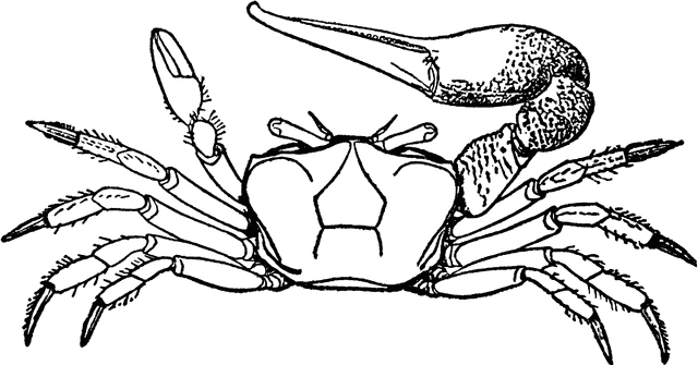 Fiddler Crab clipart #1, Download drawings