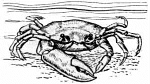 Fiddler Crab clipart #18, Download drawings