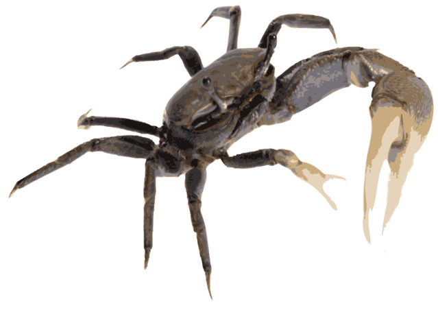 Fiddler Crab clipart #17, Download drawings