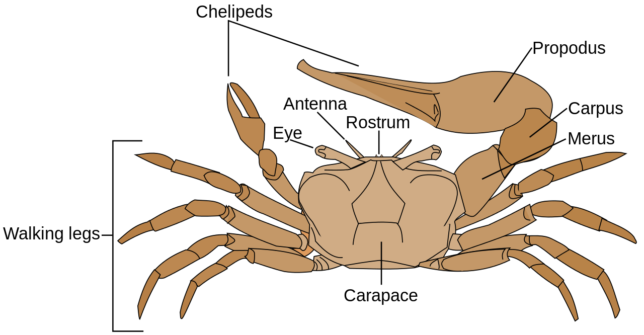 Ghost Crab svg #20, Download drawings