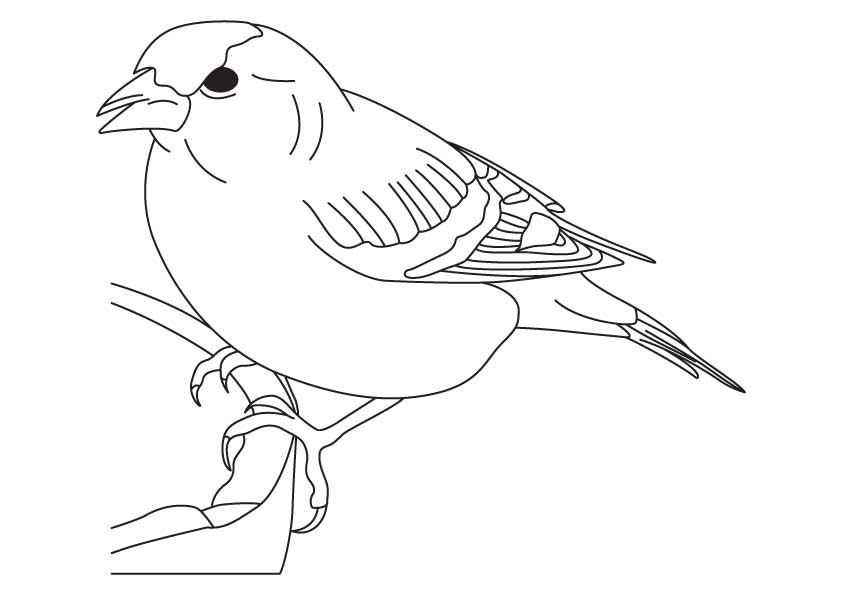 Finch coloring #9, Download drawings