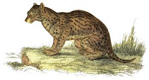 Fishing Cat clipart #4, Download drawings