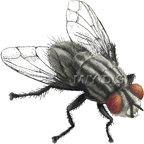 Fly clipart #4, Download drawings