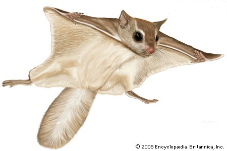 Flying Squirrel clipart #12, Download drawings
