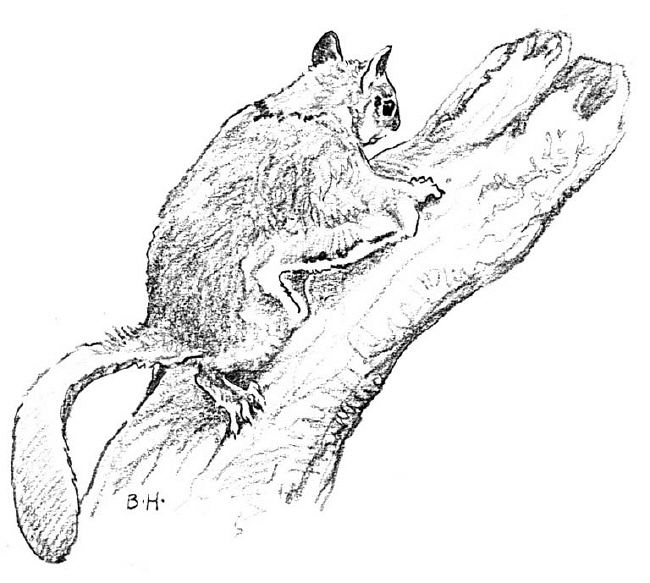 Flying Squirrel coloring #10, Download drawings