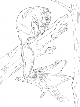 Flying Squirrel coloring #4, Download drawings