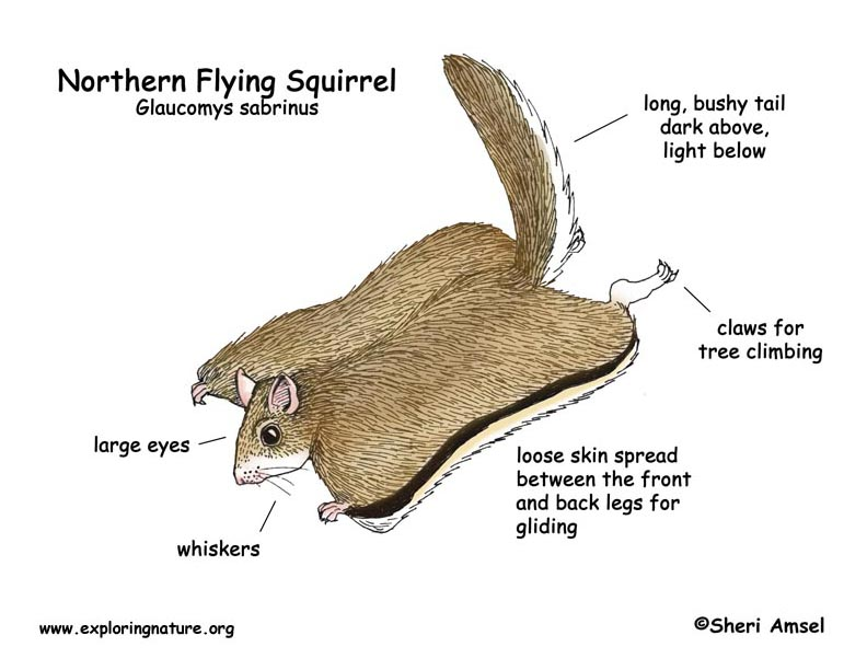 Flying Squirrel coloring #12, Download drawings