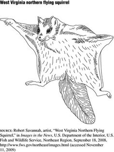 Flying Squirrel coloring #13, Download drawings