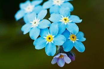 Forget-Me-Not clipart #12, Download drawings