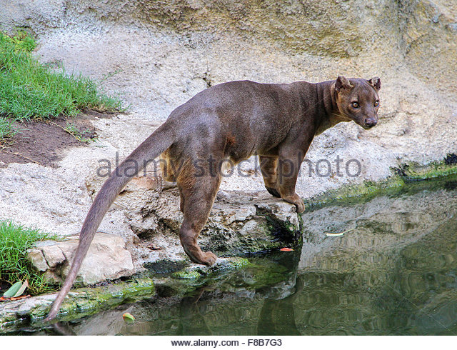 Fossa clipart #13, Download drawings