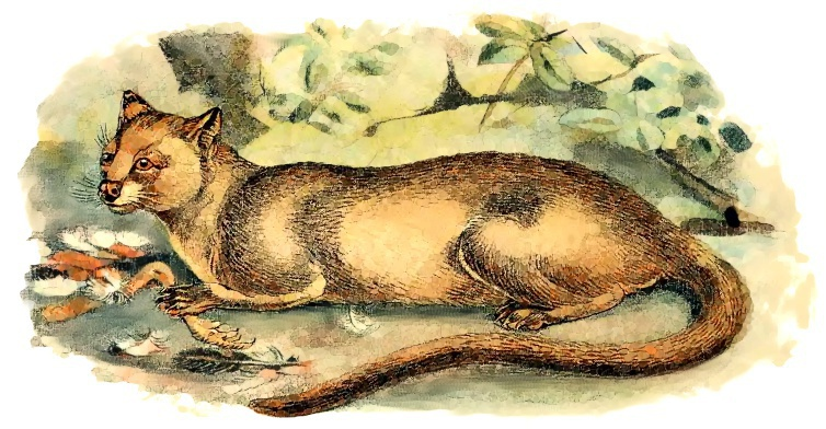 Fossa clipart #10, Download drawings
