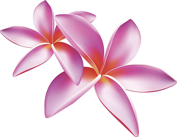 Frangipani clipart #13, Download drawings