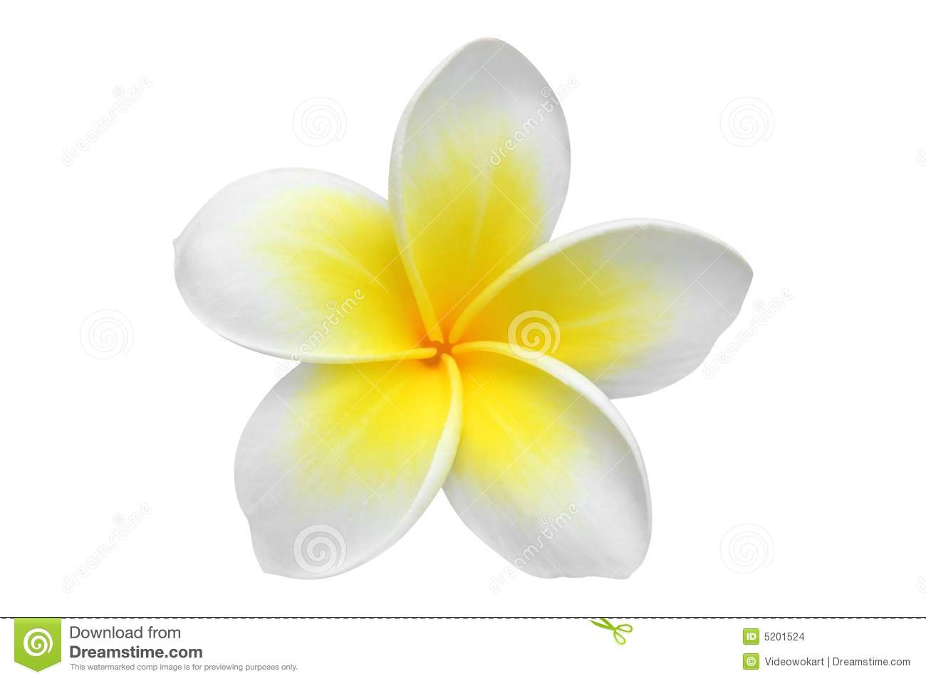 Frangipani clipart #7, Download drawings