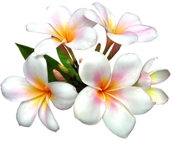 Frangipani clipart #3, Download drawings