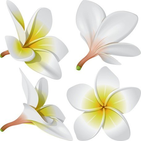 Frangipani clipart #12, Download drawings