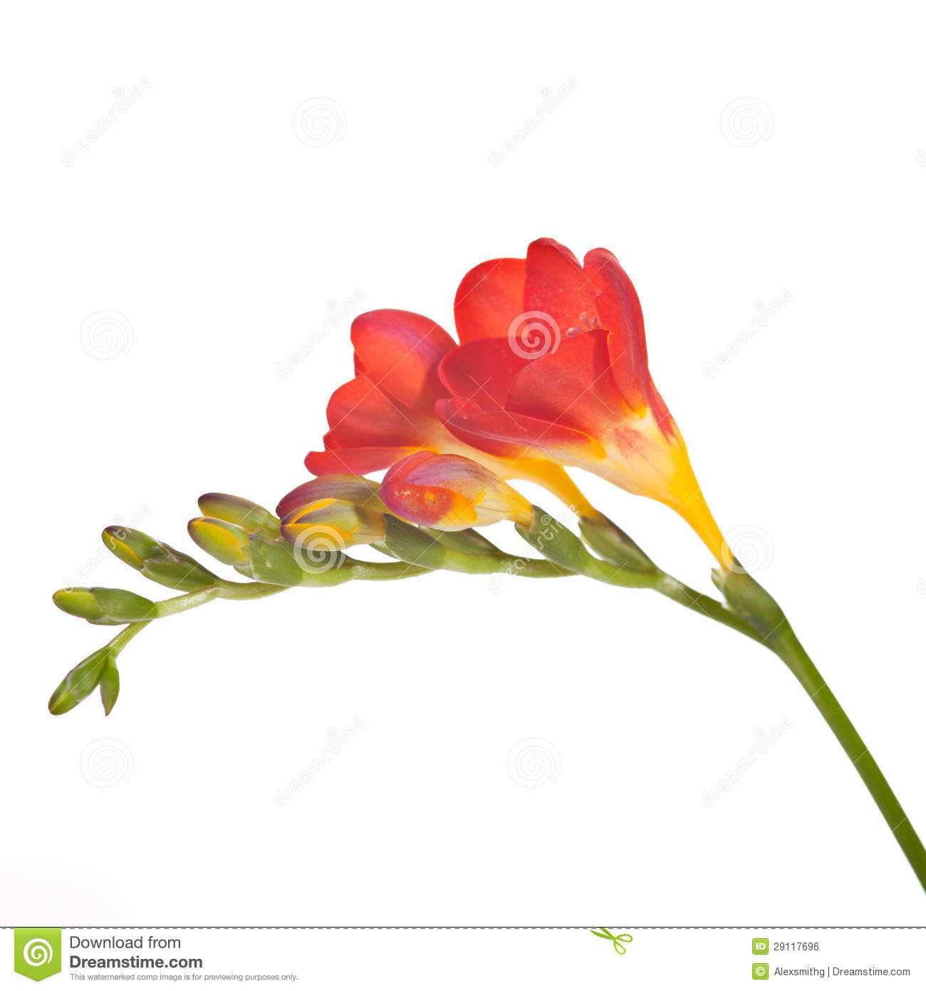 Freesia clipart #14, Download drawings