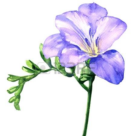Freesia clipart #13, Download drawings
