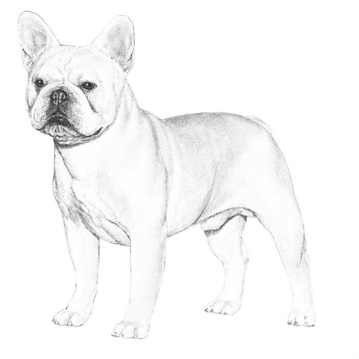 French Bulldog coloring #9, Download drawings