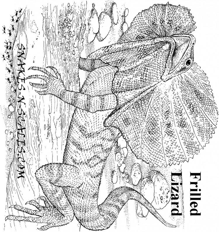 Frilledneck Lizard coloring Download