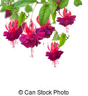 Fuchsia clipart #19, Download drawings