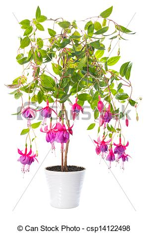 Fuchsia clipart #5, Download drawings