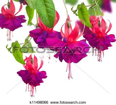 Fuchsia clipart #18, Download drawings