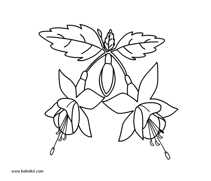 Fuchsia coloring #8, Download drawings