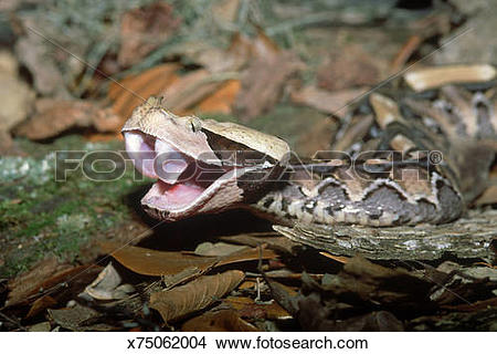 Gaboon Viper clipart #4, Download drawings