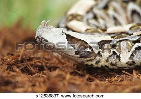 Gaboon Viper clipart #5, Download drawings