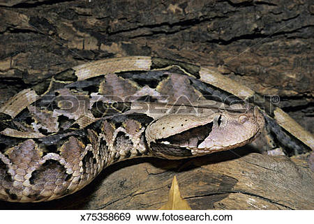 Gaboon Viper clipart #8, Download drawings
