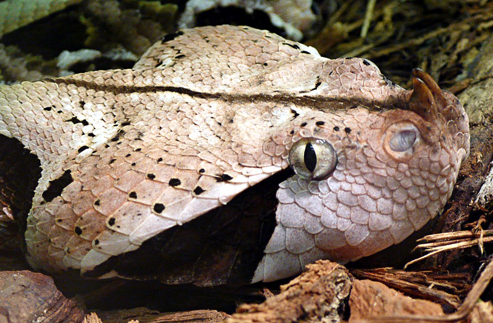 Gaboon Viper clipart #12, Download drawings