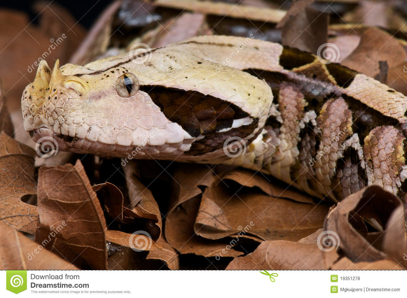 Gaboon Viper clipart #1, Download drawings