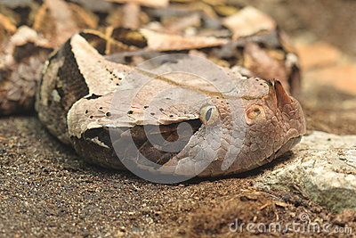 Gaboon Viper clipart #11, Download drawings