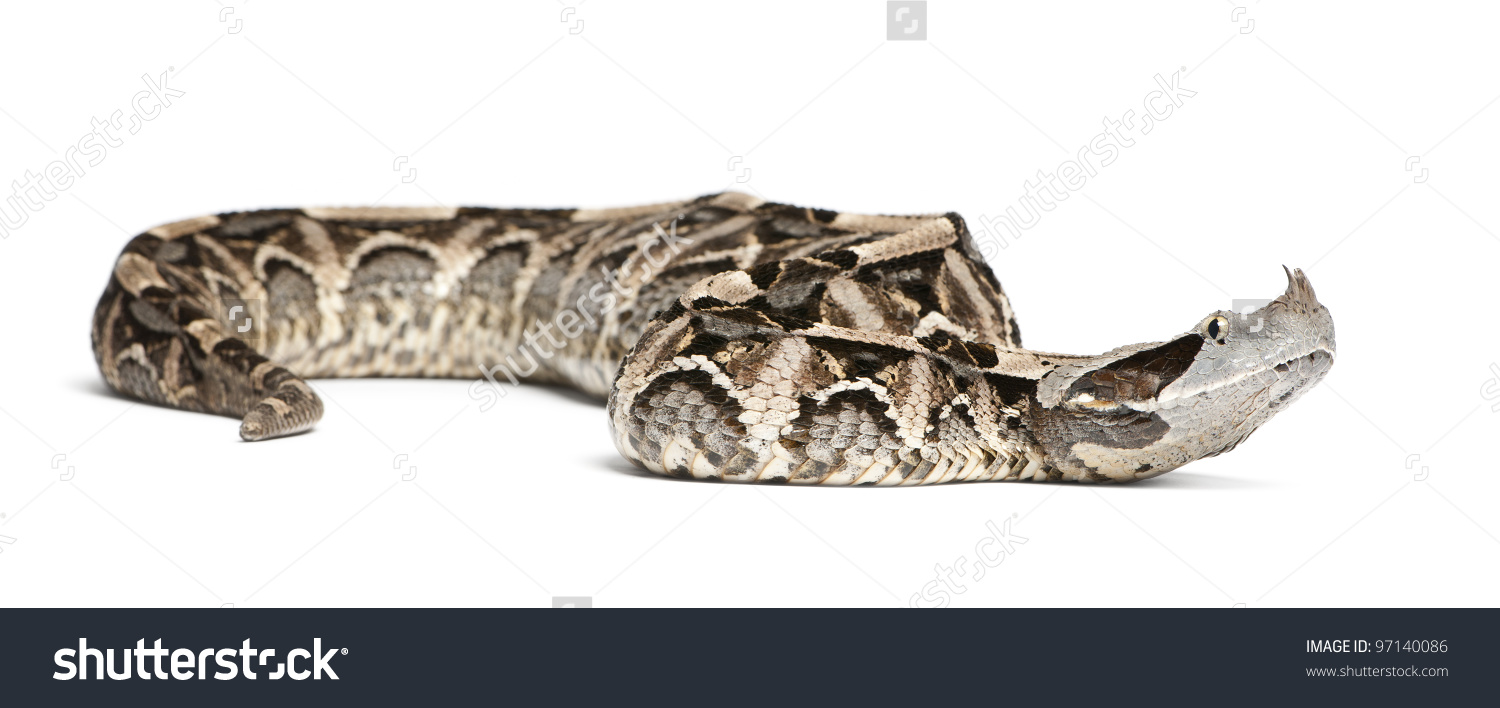 Gaboon Viper clipart #2, Download drawings