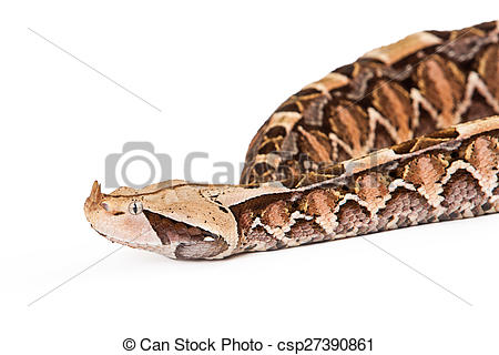 Gaboon Viper clipart #9, Download drawings