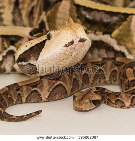 Gaboon Viper clipart #17, Download drawings